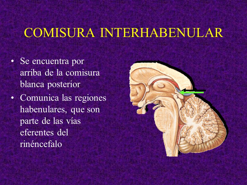 COMISURA INTERHABENULAR Se encuentra por arriba de la comisura blanca posterior Comunica las regiones habenulares, que son parte de las vías eferentes