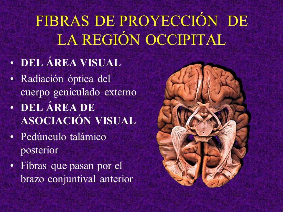 FIBRAS DE PROYECCIÓN DE LA REGIÓN OCCIPITAL DEL ÁREA VISUAL Radiación óptica del cuerpo geniculado externo DEL ÁREA DE ASOCIACIÓN VISUAL Pedúnculo tal