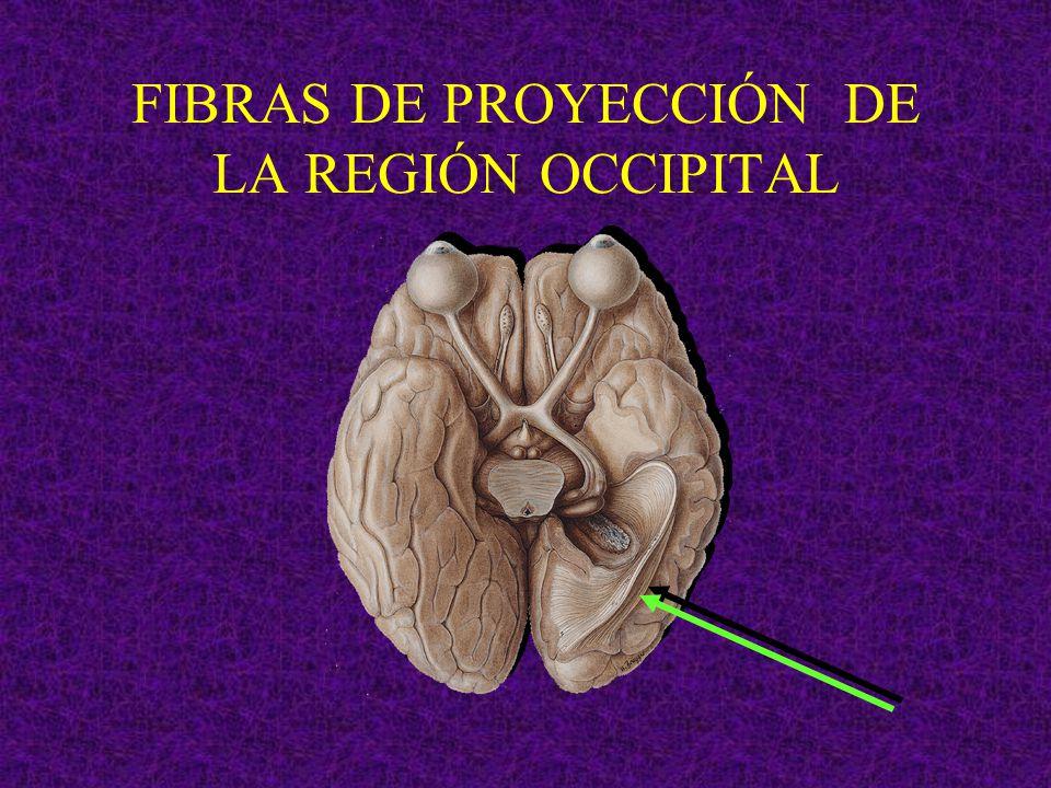 FIBRAS DE PROYECCIÓN DE LA REGIÓN OCCIPITAL