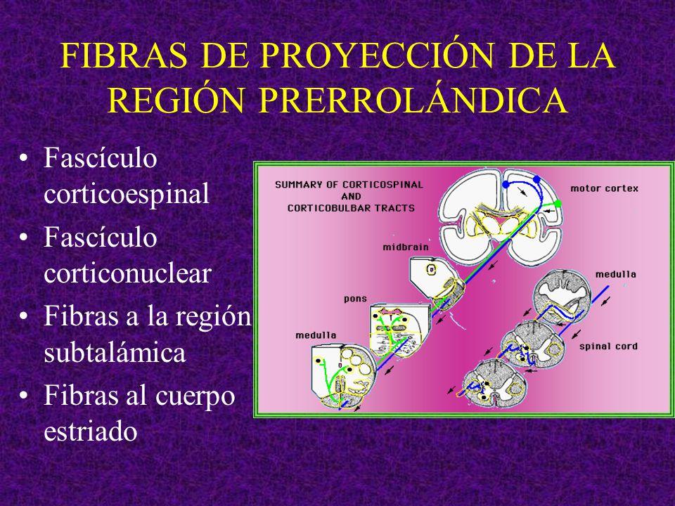 FIBRAS DE PROYECCIÓN DE LA REGIÓN PRERROLÁNDICA Fascículo corticoespinal Fascículo corticonuclear Fibras a la región subtalámica Fibras al cuerpo estr