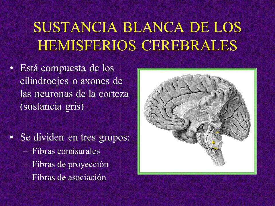 SUSTANCIA BLANCA DE LOS HEMISFERIOS CEREBRALES Está compuesta de los cilindroejes o axones de las neuronas de la corteza (sustancia gris) Se dividen e