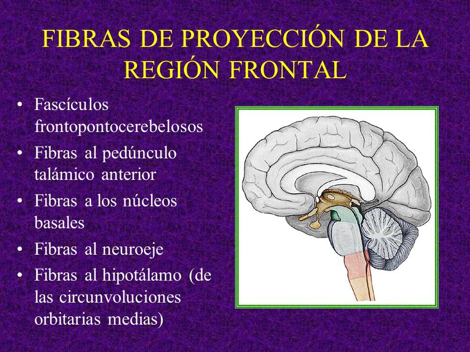 FIBRAS DE PROYECCIÓN DE LA REGIÓN FRONTAL Fascículos frontopontocerebelosos Fibras al pedúnculo talámico anterior Fibras a los núcleos basales Fibras