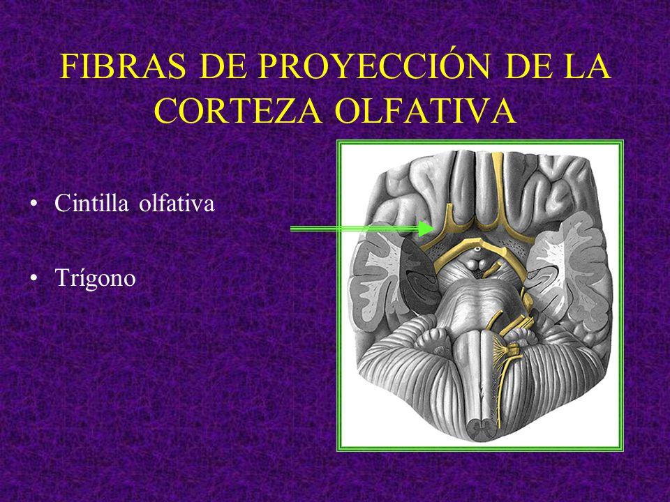 FIBRAS DE PROYECCIÓN DE LA CORTEZA OLFATIVA Cintilla olfativa Trígono