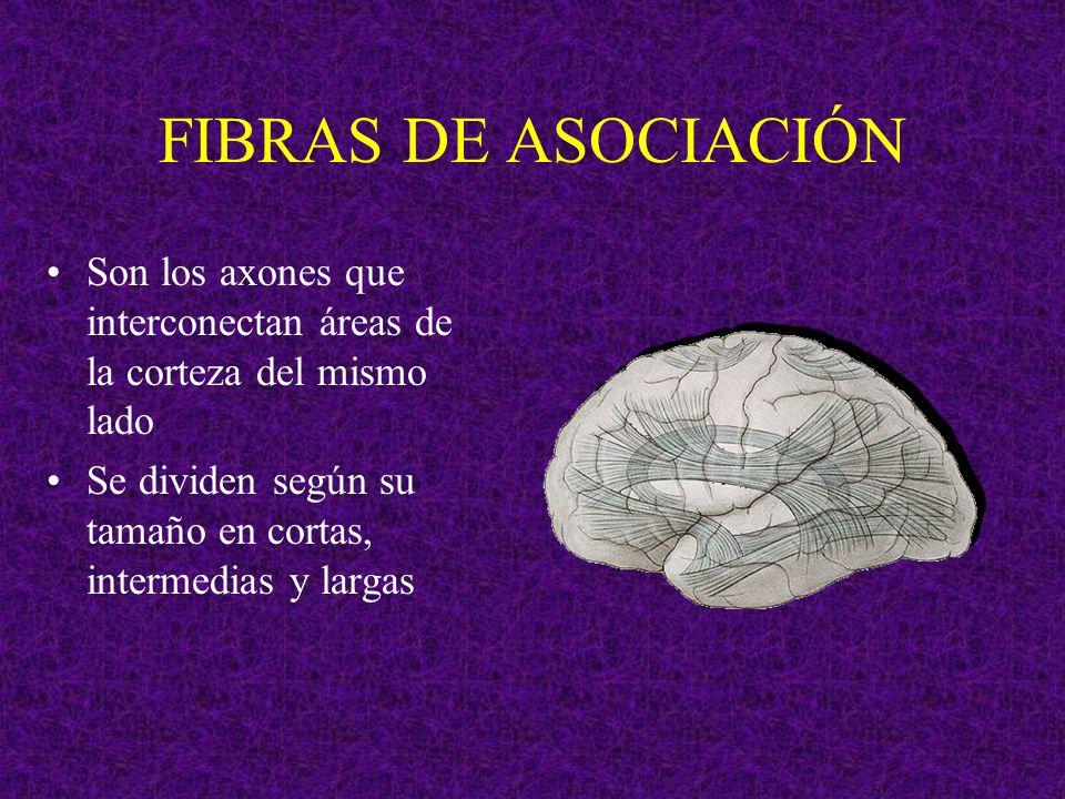 FIBRAS DE ASOCIACIÓN Son los axones que interconectan áreas de la corteza del mismo lado Se dividen según su tamaño en cortas, intermedias y largas