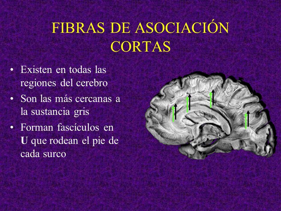 FIBRAS DE ASOCIACIÓN CORTAS Existen en todas las regiones del cerebro Son las más cercanas a la sustancia gris Forman fascículos en U que rodean el pi