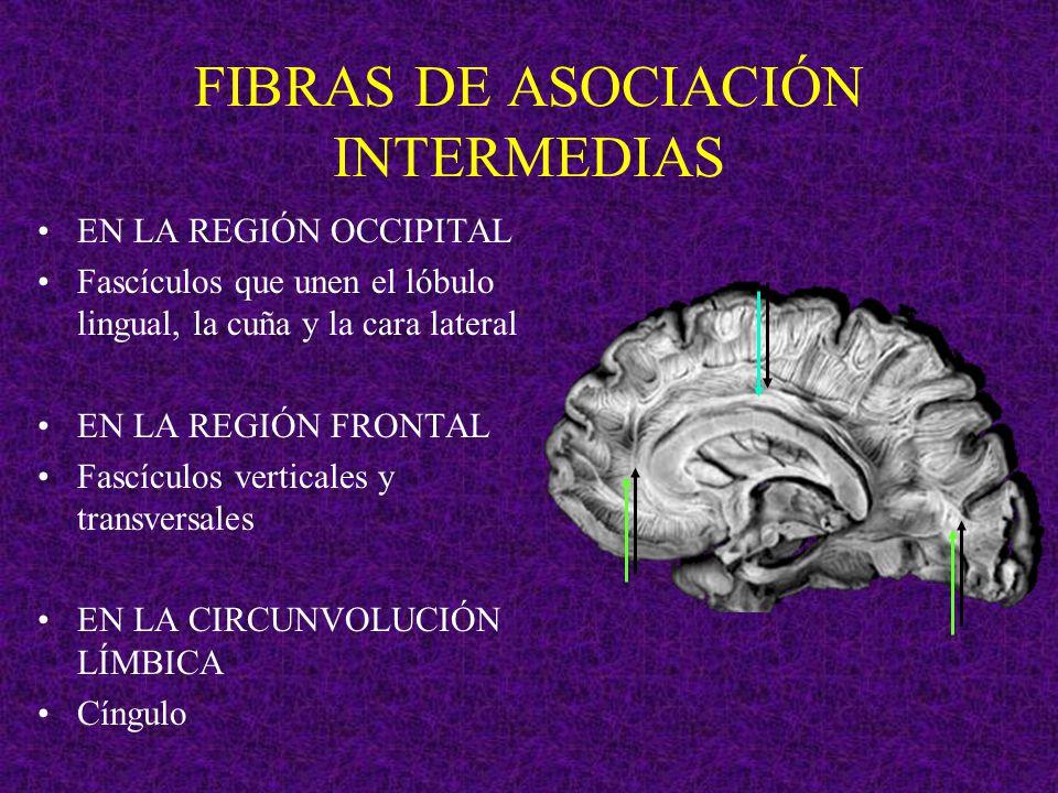 FIBRAS DE ASOCIACIÓN INTERMEDIAS EN LA REGIÓN OCCIPITAL Fascículos que unen el lóbulo lingual, la cuña y la cara lateral EN LA REGIÓN FRONTAL Fascícul