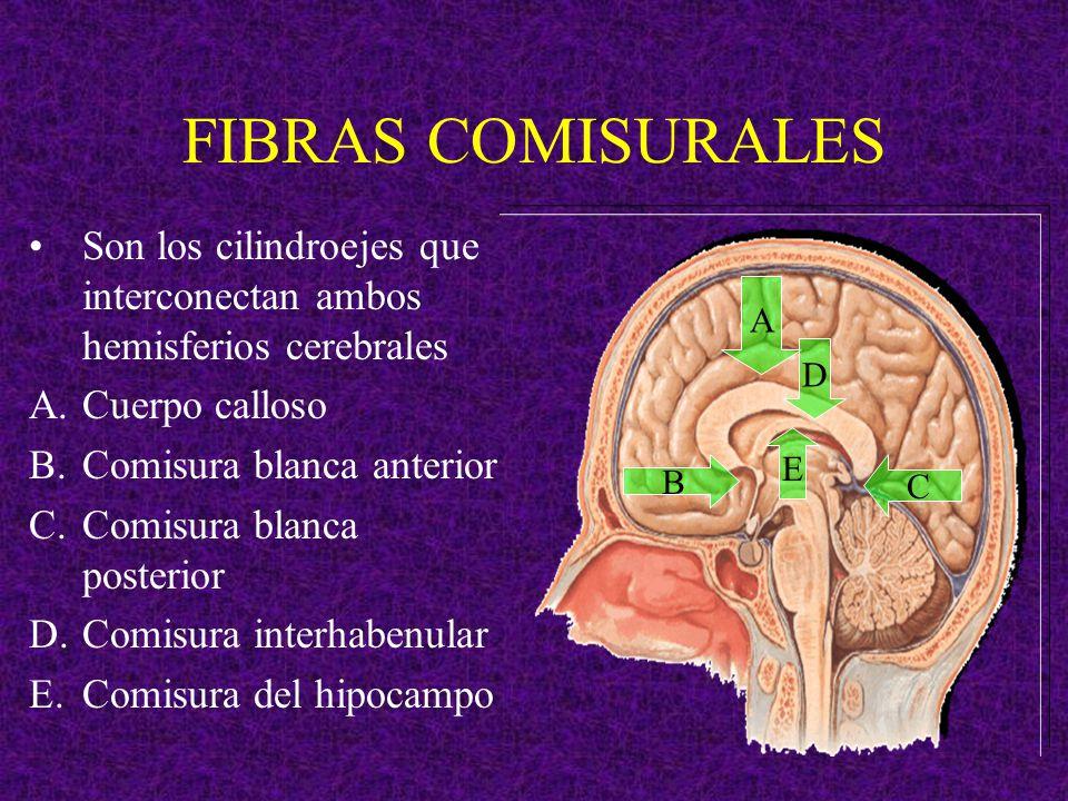 FIBRAS COMISURALES Son los cilindroejes que interconectan ambos hemisferios cerebrales A.Cuerpo calloso B.Comisura blanca anterior C.Comisura blanca p