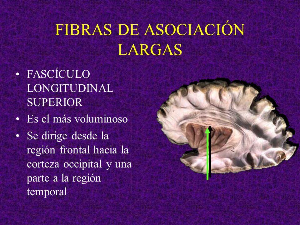 FIBRAS DE ASOCIACIÓN LARGAS FASCÍCULO LONGITUDINAL SUPERIOR Es el más voluminoso Se dirige desde la región frontal hacia la corteza occipital y una pa