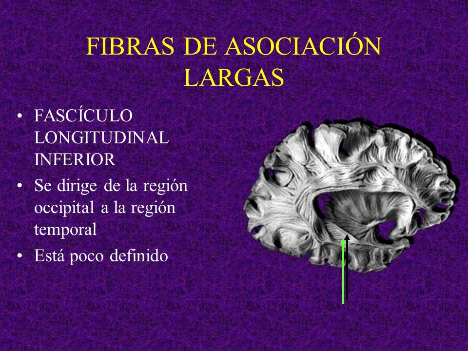 FIBRAS DE ASOCIACIÓN LARGAS FASCÍCULO LONGITUDINAL INFERIOR Se dirige de la región occipital a la región temporal Está poco definido