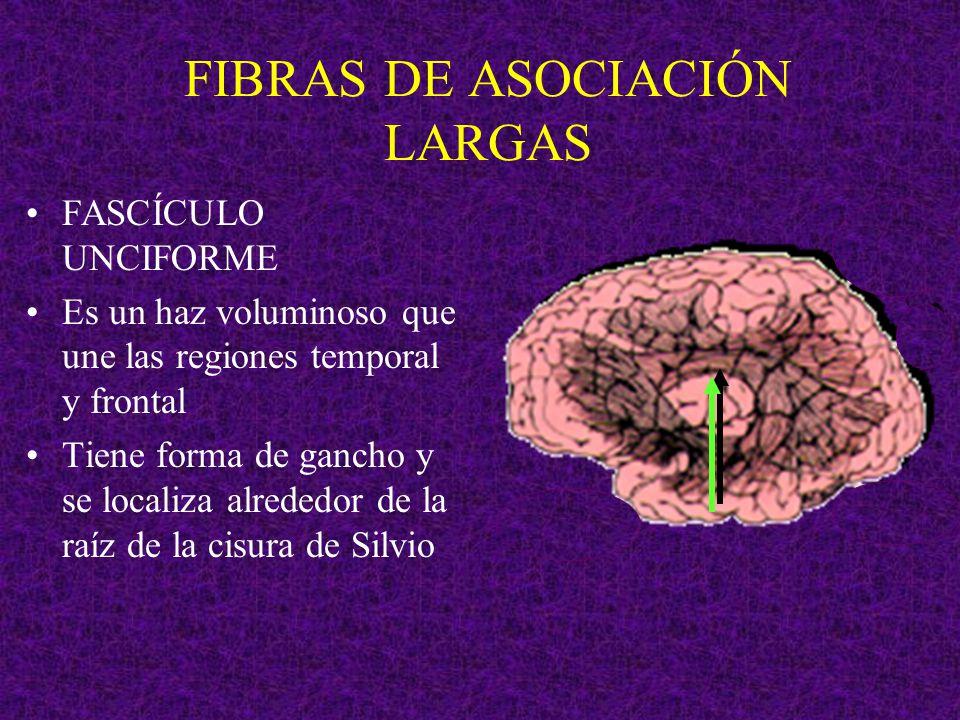 FIBRAS DE ASOCIACIÓN LARGAS FASCÍCULO UNCIFORME Es un haz voluminoso que une las regiones temporal y frontal Tiene forma de gancho y se localiza alred