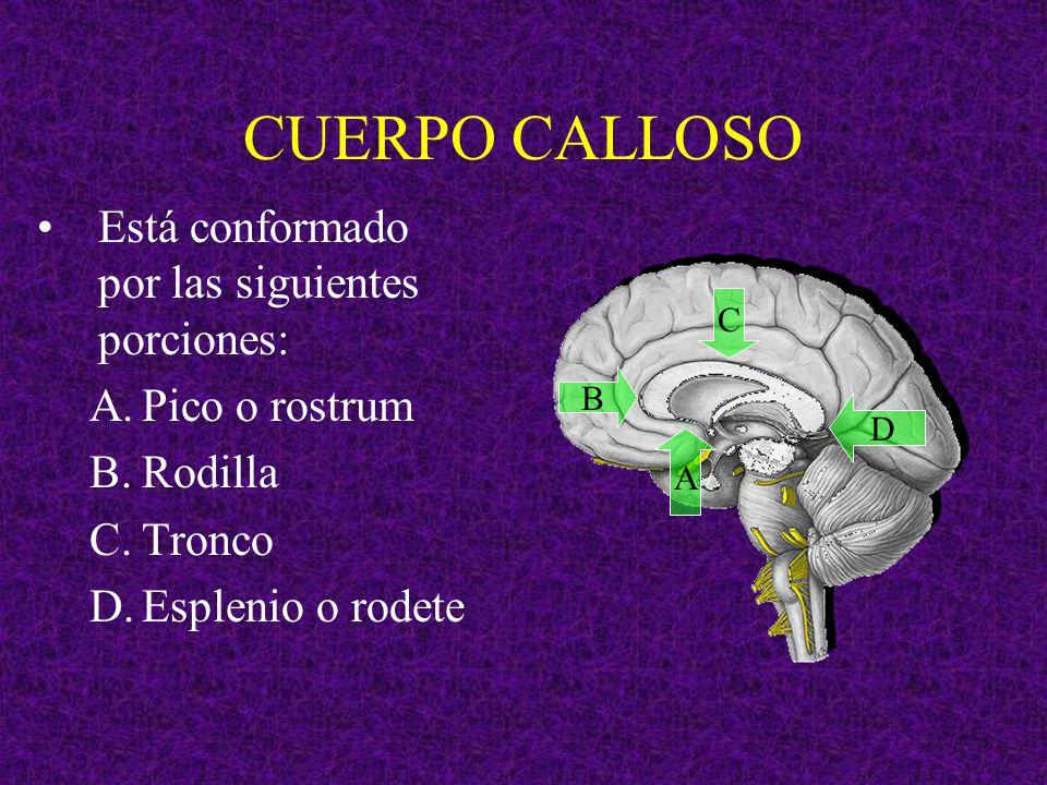 CUERPO CALLOSO Está conformado por las siguientes porciones: A.Pico o rostrum B.Rodilla C.Tronco D.Esplenio o rodete A B C D