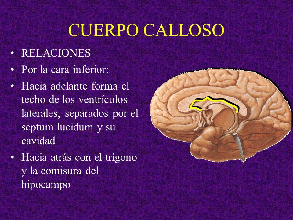 CUERPO CALLOSO RELACIONES Por la cara inferior: Hacia adelante forma el techo de los ventrículos laterales, separados por el septum lucidum y su cavid
