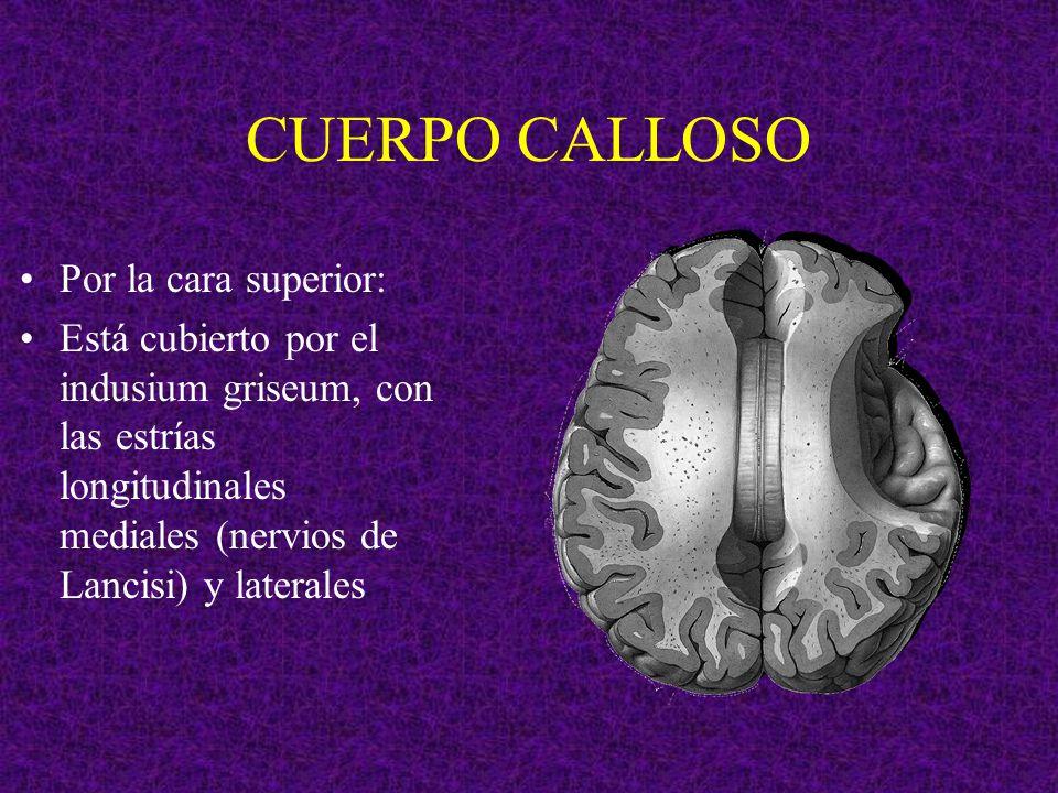 CUERPO CALLOSO Emite las siguientes fibras: A.Radiación del cuerpo calloso hemisferios cerebrales B.Tapetum región temporal C.Fórceps menor región frontal D.Fórceps mayor región occipital A A B B C C D D