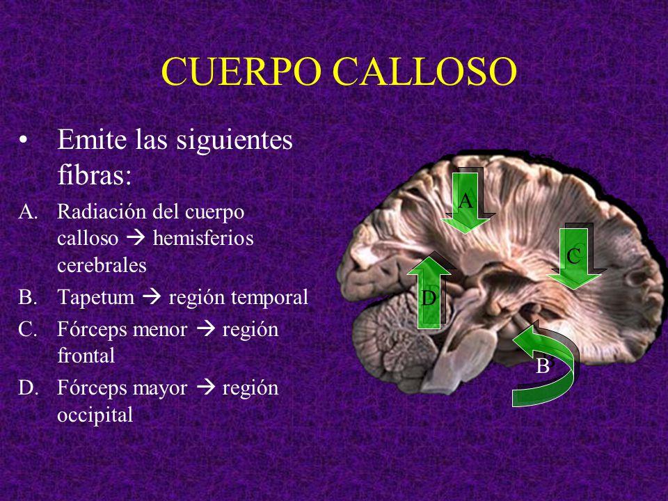 CUERPO CALLOSO Emite las siguientes fibras: A.Radiación del cuerpo calloso hemisferios cerebrales B.Tapetum región temporal C.Fórceps menor región fro