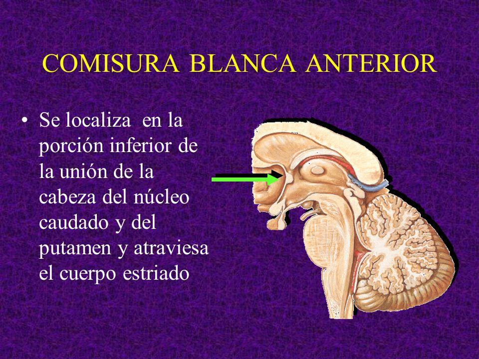 COMISURA BLANCA ANTERIOR Se localiza en la porción inferior de la unión de la cabeza del núcleo caudado y del putamen y atraviesa el cuerpo estriado
