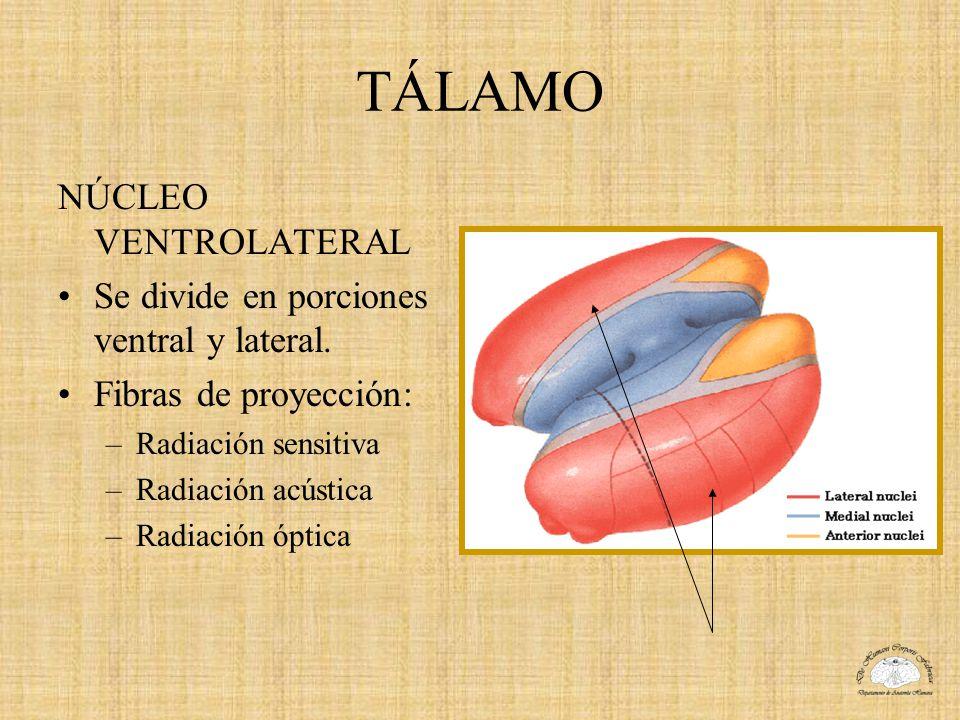 TÁLAMO NÚCLEO VENTROLATERAL Se divide en porciones ventral y lateral. Fibras de proyección: –Radiación sensitiva –Radiación acústica –Radiación óptica