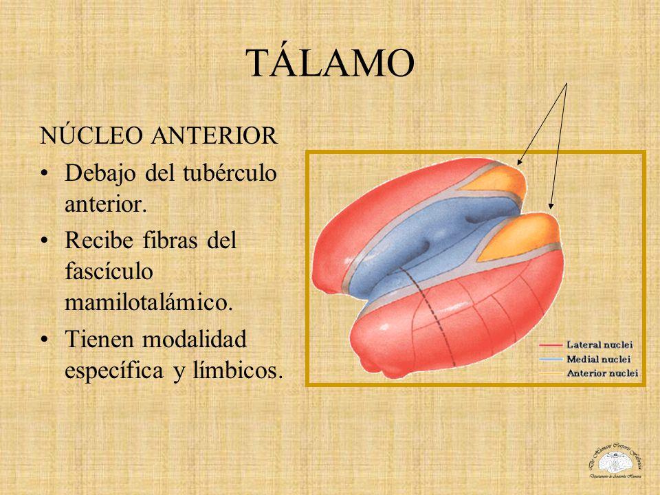 TÁLAMO NÚCLEO ANTERIOR Debajo del tubérculo anterior. Recibe fibras del fascículo mamilotalámico. Tienen modalidad específica y límbicos.