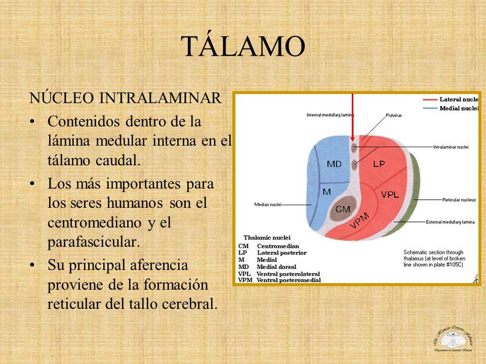 TÁLAMO NÚCLEO INTRALAMINAR Contenidos dentro de la lámina medular interna en el tálamo caudal. Los más importantes para los seres humanos son el centr