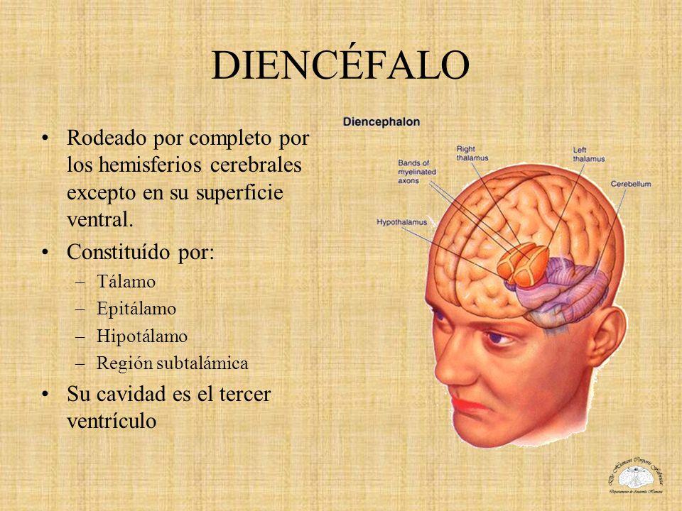 DIENCÉFALO Rodeado por completo por los hemisferios cerebrales excepto en su superficie ventral. Constituído por: –Tálamo –Epitálamo –Hipotálamo –Regi