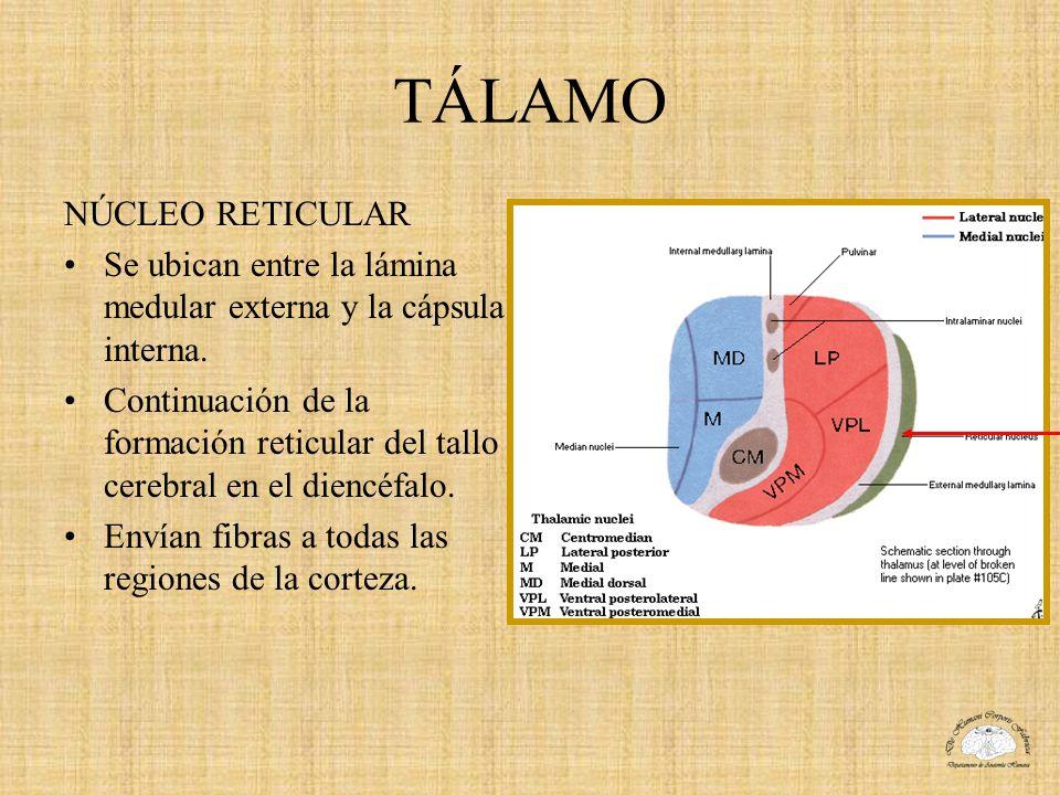 TÁLAMO NÚCLEO RETICULAR Se ubican entre la lámina medular externa y la cápsula interna. Continuación de la formación reticular del tallo cerebral en e