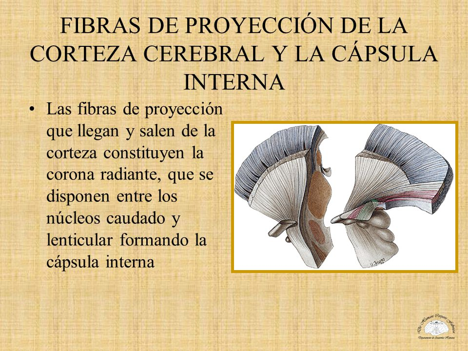 FIBRAS DE PROYECCIÓN DE LA CORTEZA CEREBRAL Y LA CÁPSULA INTERNA Las fibras de proyección que llegan y salen de la corteza constituyen la corona radia