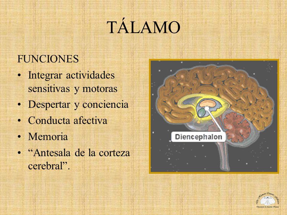 TÁLAMO FUNCIONES Integrar actividades sensitivas y motoras Despertar y conciencia Conducta afectiva Memoria Antesala de la corteza cerebral.