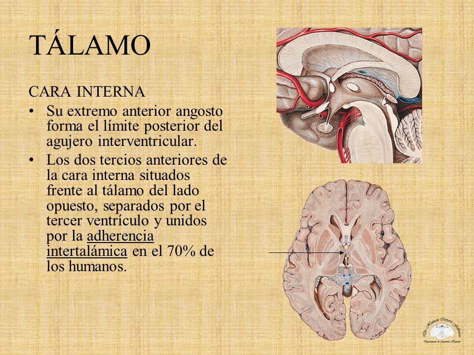 TÁLAMO CARA INTERNA Su extremo anterior angosto forma el límite posterior del agujero interventricular. Los dos tercios anteriores de la cara interna
