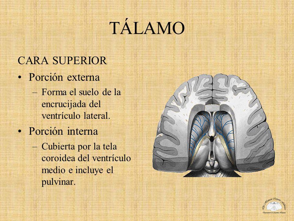 TÁLAMO CARA SUPERIOR Porción externa –Forma el suelo de la encrucijada del ventrículo lateral. Porción interna –Cubierta por la tela coroidea del vent