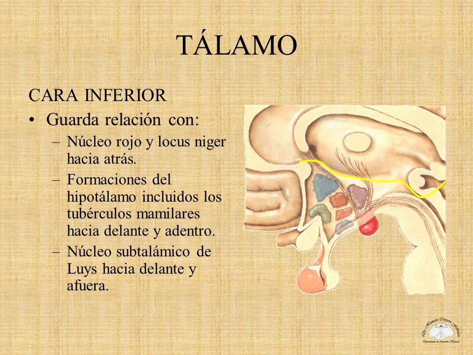 TÁLAMO CARA INFERIOR Guarda relación con: –Núcleo rojo y locus niger hacia atrás. –Formaciones del hipotálamo incluidos los tubérculos mamilares hacia