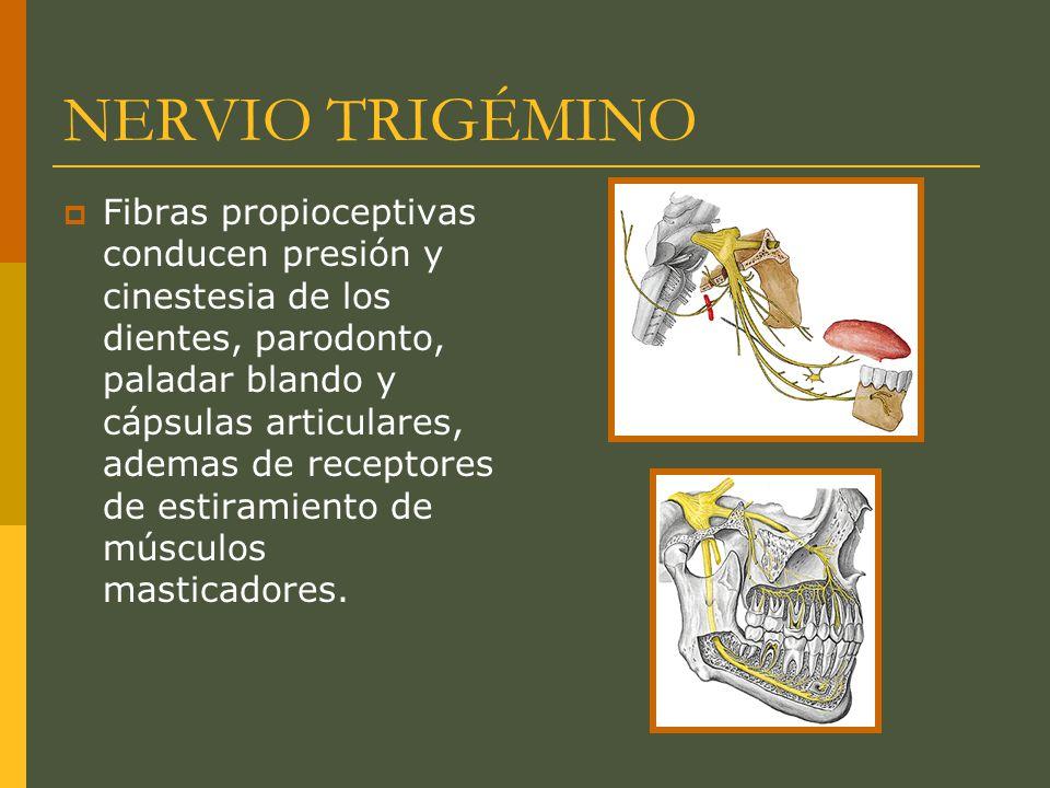 NERVIO TRIGÉMINO Fibras propioceptivas conducen presión y cinestesia de los dientes, parodonto, paladar blando y cápsulas articulares, ademas de recep