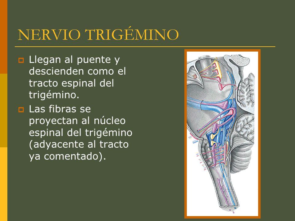 NERVIO TRIGÉMINO Llegan al puente y descienden como el tracto espinal del trigémino. Las fibras se proyectan al núcleo espinal del trigémino (adyacent
