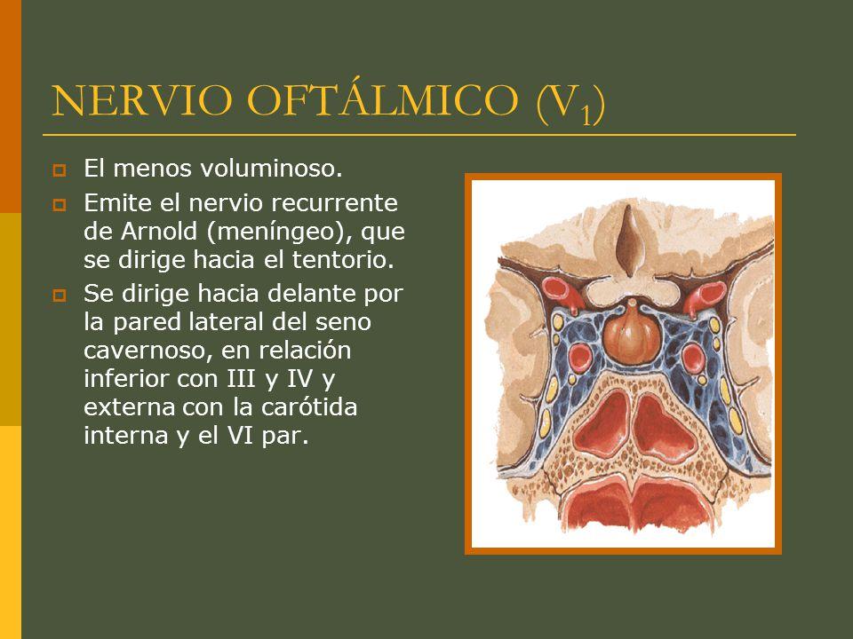 NERVIO OFTÁLMICO (V 1 ) El menos voluminoso. Emite el nervio recurrente de Arnold (meníngeo), que se dirige hacia el tentorio. Se dirige hacia delante