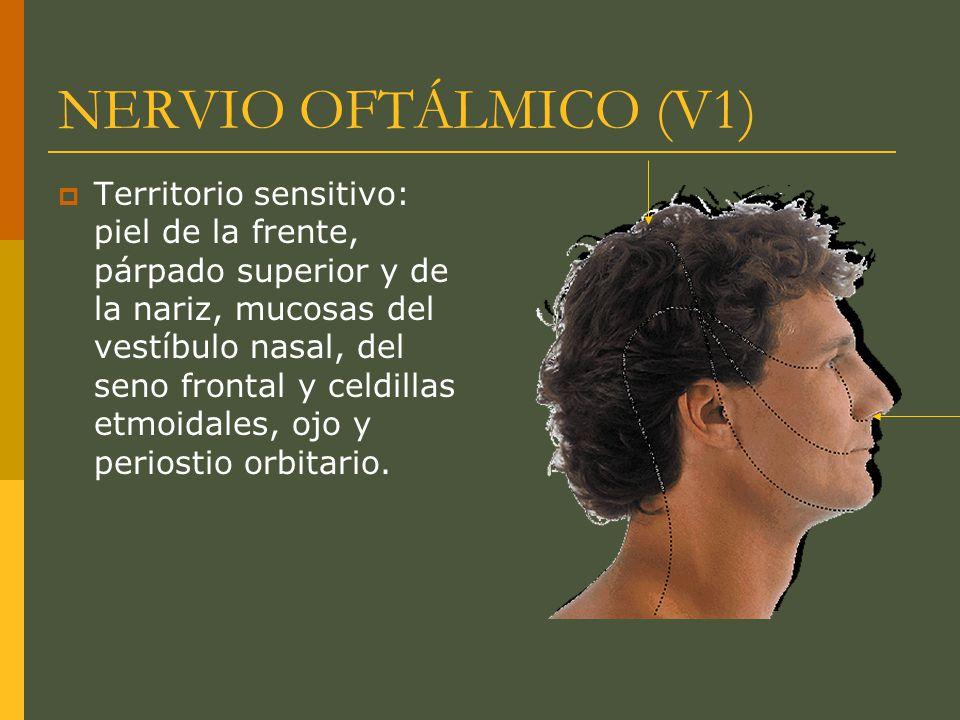 NERVIO OFTÁLMICO (V1) Territorio sensitivo: piel de la frente, párpado superior y de la nariz, mucosas del vestíbulo nasal, del seno frontal y celdill