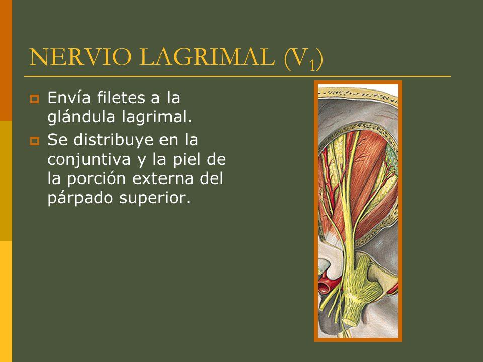 NERVIO LAGRIMAL (V 1 ) Envía filetes a la glándula lagrimal. Se distribuye en la conjuntiva y la piel de la porción externa del párpado superior.