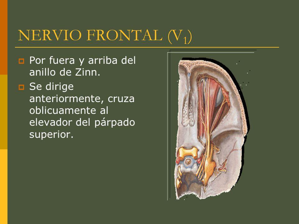 NERVIO FRONTAL (V 1 ) Por fuera y arriba del anillo de Zinn. Se dirige anteriormente, cruza oblicuamente al elevador del párpado superior.