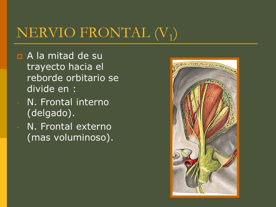 NERVIO FRONTAL (V 1 ) A la mitad de su trayecto hacia el reborde orbitario se divide en : - N. Frontal interno (delgado). - N. Frontal externo (mas vo