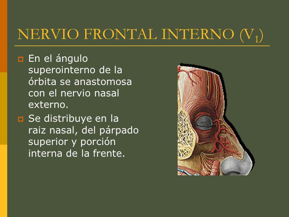 NERVIO FRONTAL INTERNO (V 1 ) En el ángulo superointerno de la órbita se anastomosa con el nervio nasal externo. Se distribuye en la raiz nasal, del p