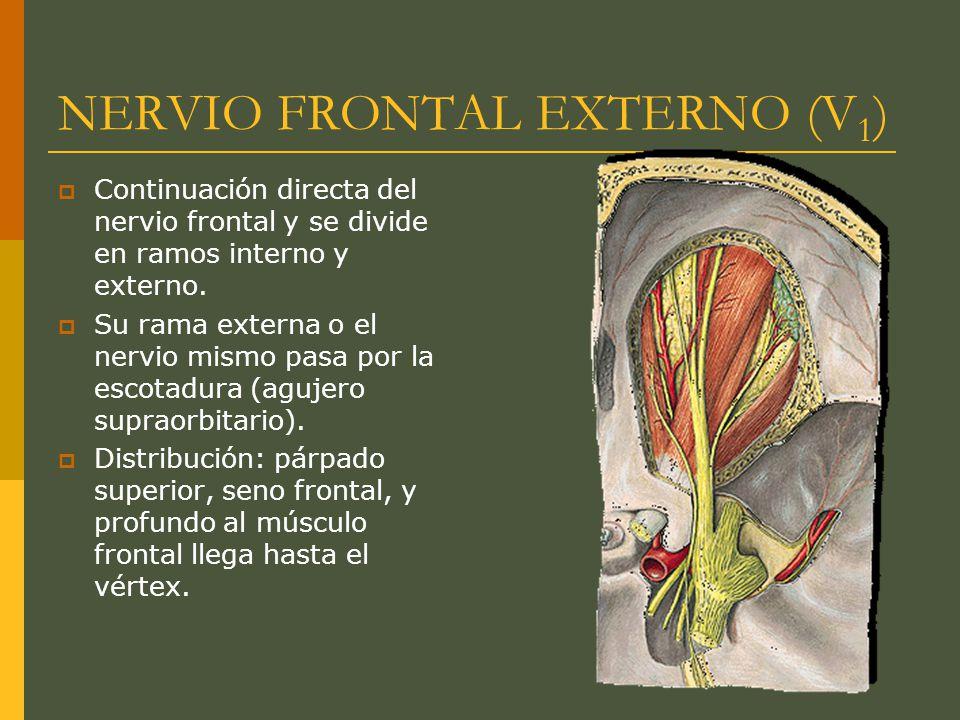 NERVIO FRONTAL EXTERNO (V 1 ) Continuación directa del nervio frontal y se divide en ramos interno y externo. Su rama externa o el nervio mismo pasa p
