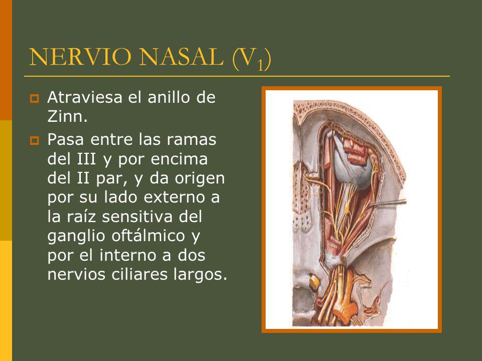 NERVIO NASAL (V 1 ) Atraviesa el anillo de Zinn. Pasa entre las ramas del III y por encima del II par, y da origen por su lado externo a la raíz sensi