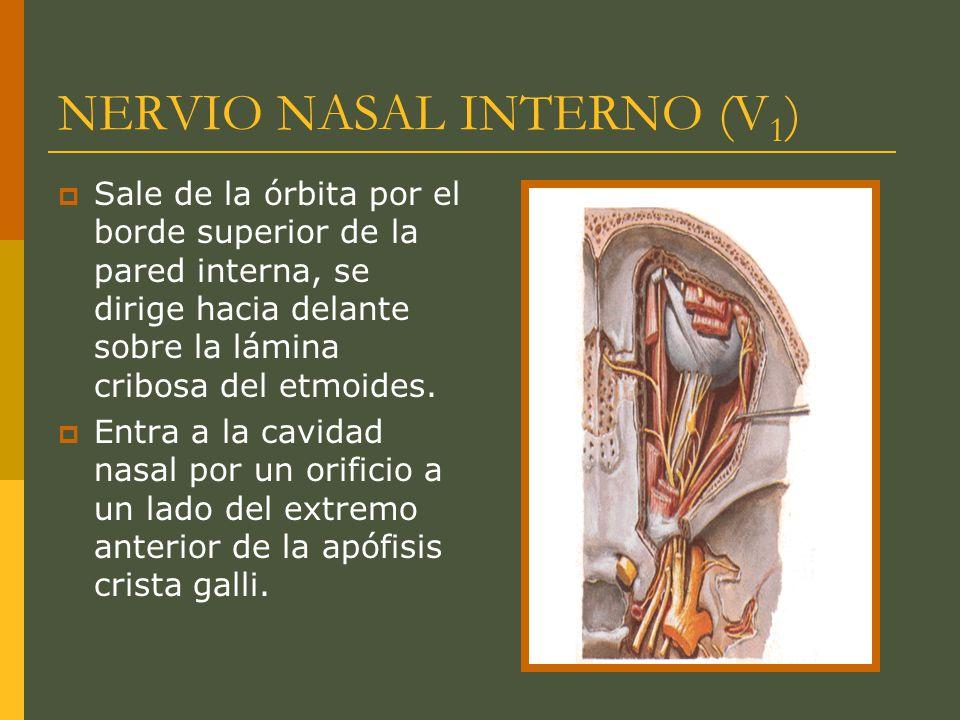 NERVIO NASAL INTERNO (V 1 ) Sale de la órbita por el borde superior de la pared interna, se dirige hacia delante sobre la lámina cribosa del etmoides.
