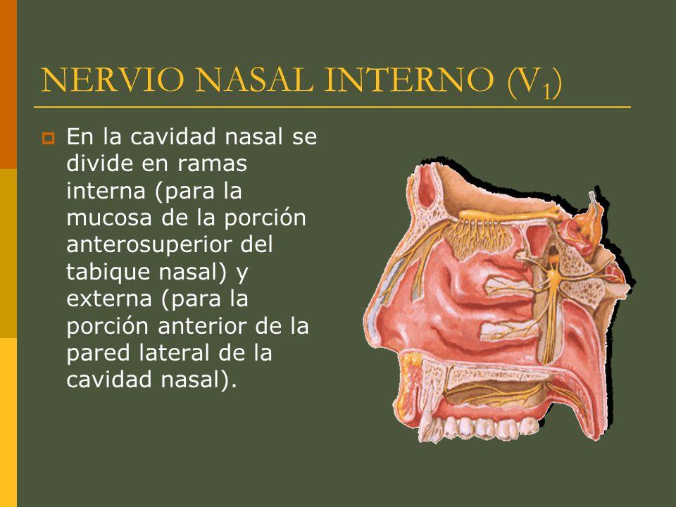 NERVIO NASAL INTERNO (V 1 ) En la cavidad nasal se divide en ramas interna (para la mucosa de la porción anterosuperior del tabique nasal) y externa (