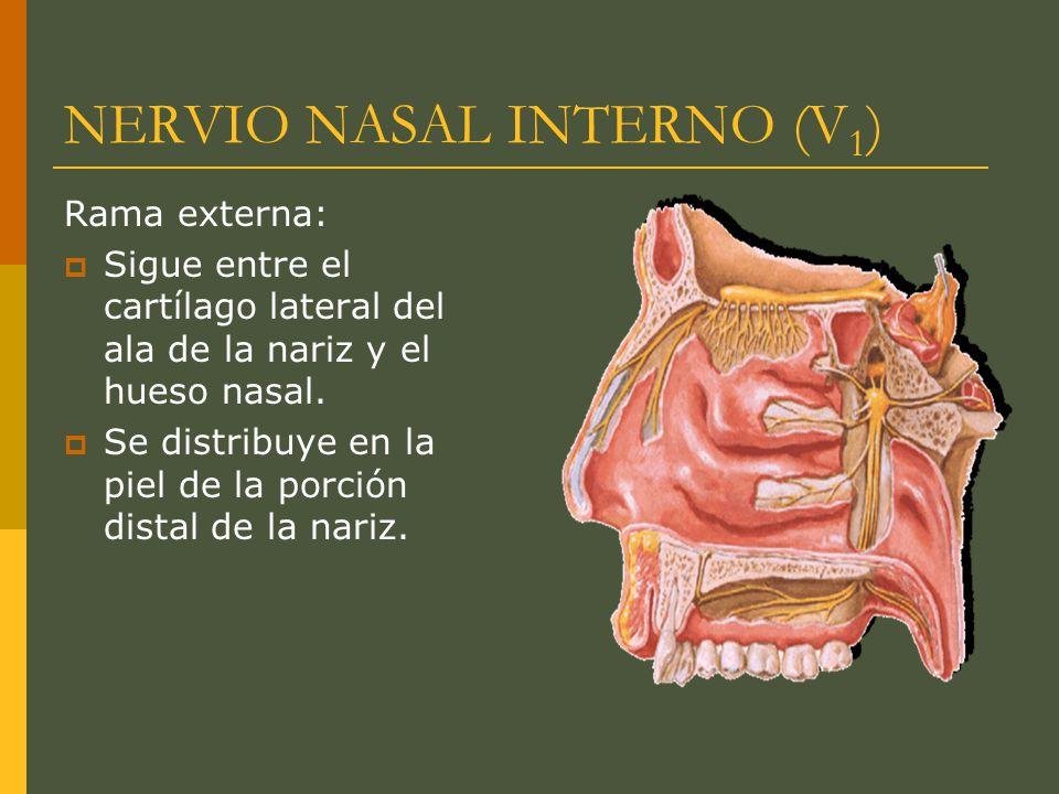 NERVIO NASAL INTERNO (V 1 ) Rama externa: Sigue entre el cartílago lateral del ala de la nariz y el hueso nasal. Se distribuye en la piel de la porció