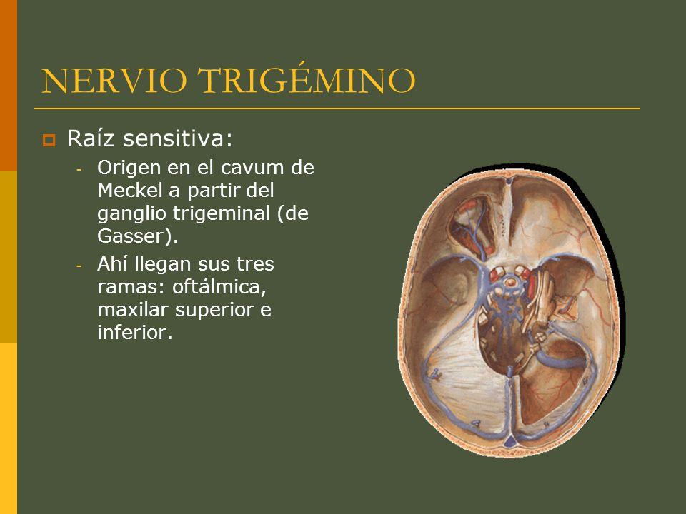 NERVIO TRIGÉMINO Raíz sensitiva: - Origen en el cavum de Meckel a partir del ganglio trigeminal (de Gasser). - Ahí llegan sus tres ramas: oftálmica, m