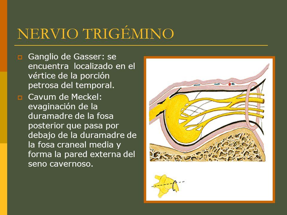 NERVIO TRIGÉMINO Raíz motora Se origina en el núcleo motor del trigémino en el tegmento pontino.