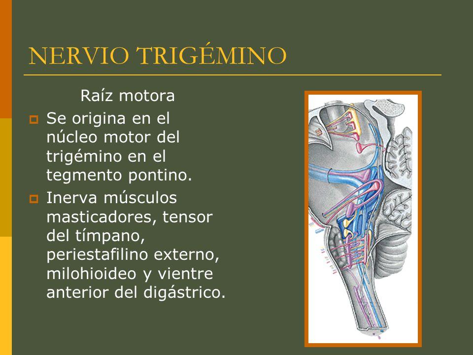 NERVIO TRIGÉMINO Raíz motora Se origina en el núcleo motor del trigémino en el tegmento pontino. Inerva músculos masticadores, tensor del tímpano, per