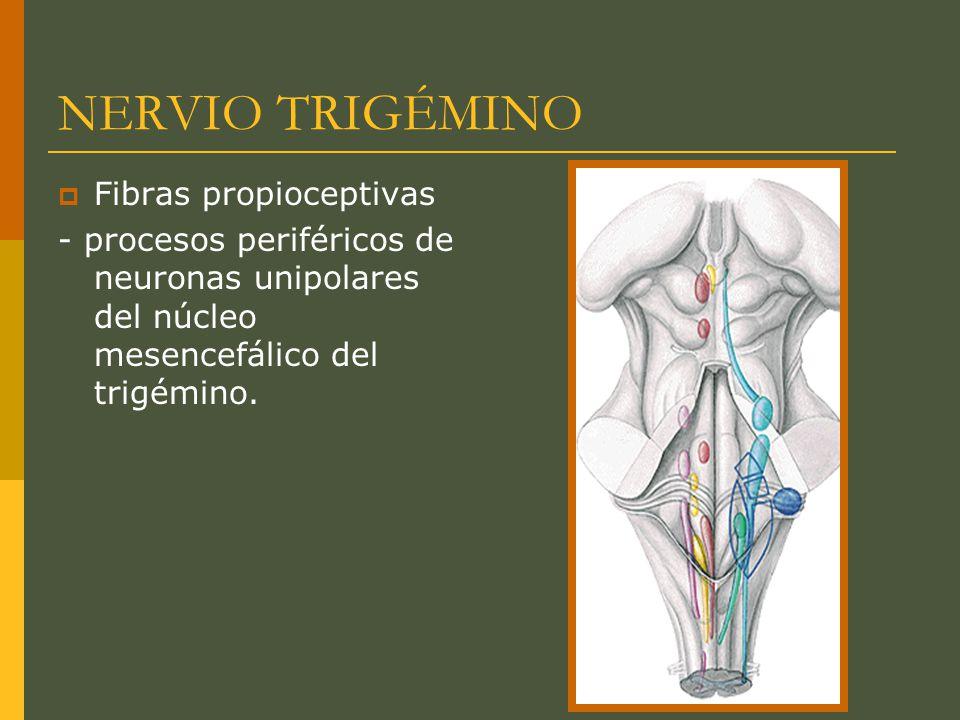 NERVIO TRIGÉMINO Fibras propioceptivas - procesos periféricos de neuronas unipolares del núcleo mesencefálico del trigémino.