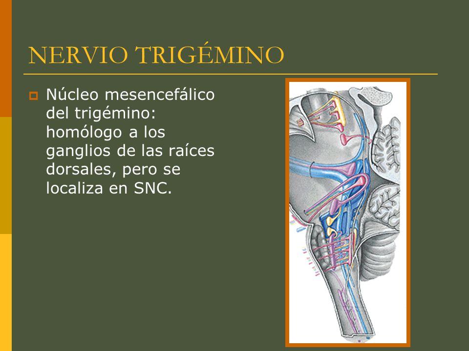 NERVIO TRIGÉMINO Núcleo mesencefálico del trigémino: homólogo a los ganglios de las raíces dorsales, pero se localiza en SNC.