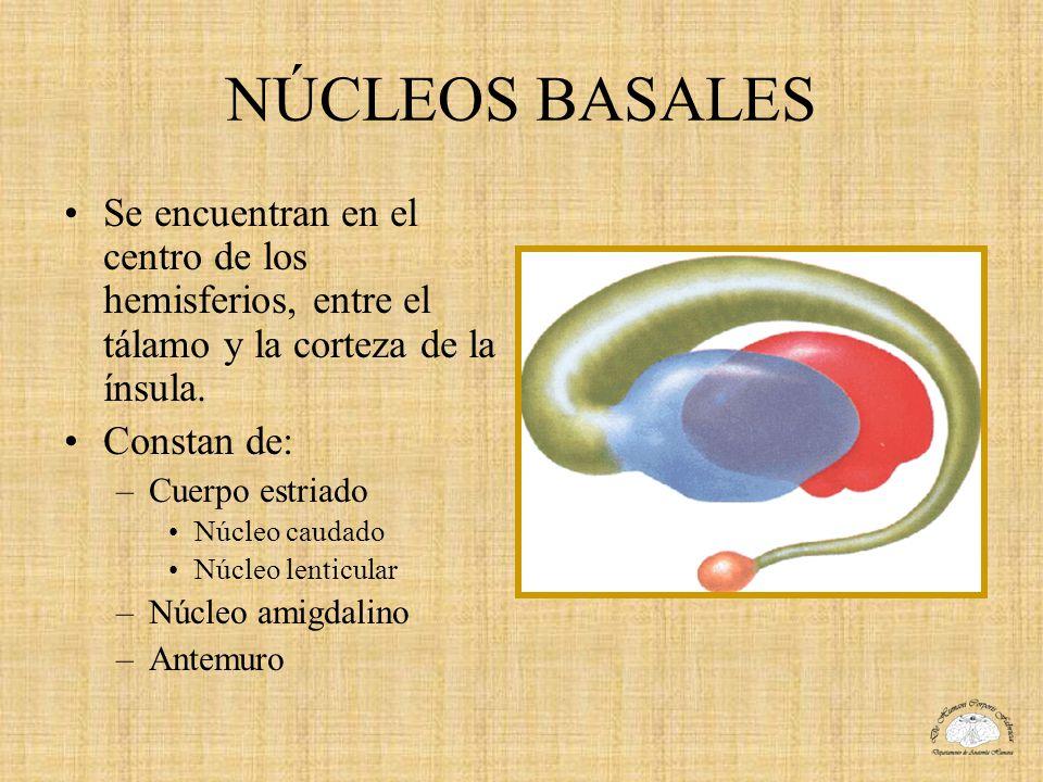 NÚCLEOS BASALES Se encuentran en el centro de los hemisferios, entre el tálamo y la corteza de la ínsula. Constan de: –Cuerpo estriado Núcleo caudado