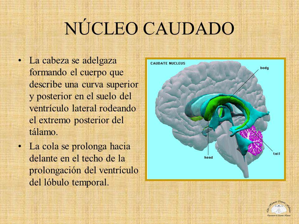 NÚCLEO CAUDADO La cabeza se adelgaza formando el cuerpo que describe una curva superior y posterior en el suelo del ventrículo lateral rodeando el ext