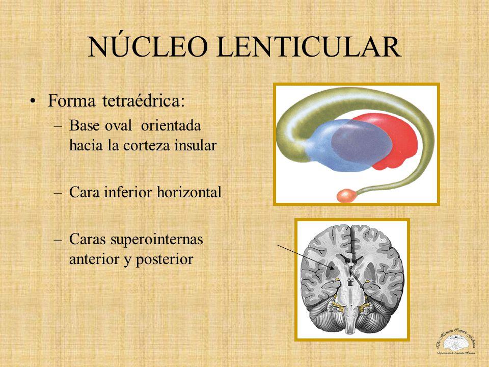 NÚCLEO LENTICULAR Al corte horizontal: –Lado externo convexo –Lado anterointerno separado hacia arriba de la cabeza del núcleo caudado por el segmento anterior o lenticulocaudado de la cápsula interna.